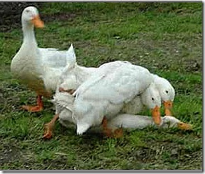 rape-ducks