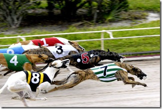 greyhound-dog-race0557