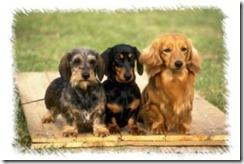 miniature-dachshunds-300x200