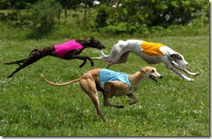 greyhound-dog-race525